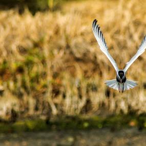 Victory by Rusman Budi Prasetyo - Animals Birds ( bird, victory, nature, tern, fauna,  )