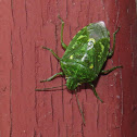 Juniper Stink Bug