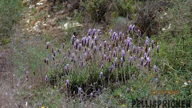 Photo: Naturligtvis Lavendel!!!! Vad vore Costa Calida utan sin Lavendel som sprider sin väldoft överallt