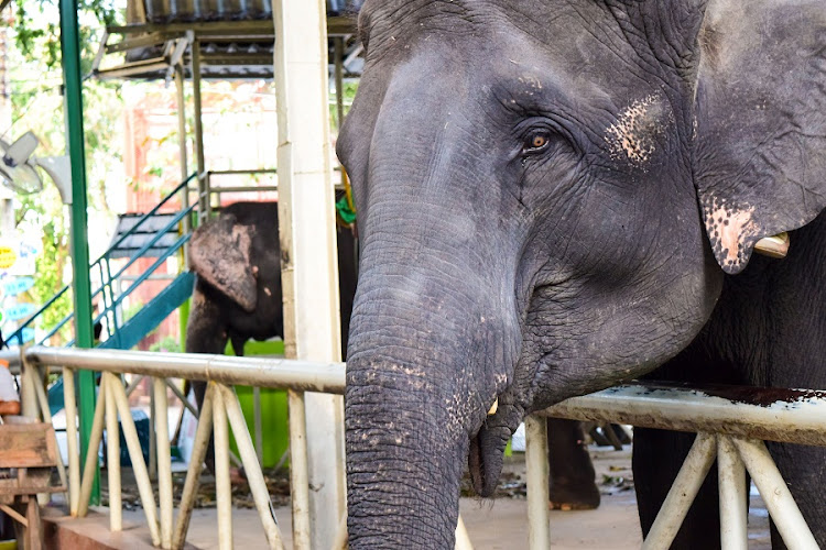 Tearful Asian elephant in captivity.  Picture: 123RF/CHANCHAI BOONMA
