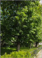 Photo: Artar - Paltin de munte (Acer pseudoplatanus) - Turda, Str. Avram Iancu, parculet - 2019.05.13