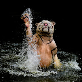 Let's Dance by Pimpin Nagawan - Animals Lions, Tigers & Big Cats