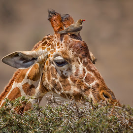 The High Life by Karen Celella - Animals Birds ( africa, safari, giraffe, bird, animals, portrait, wild, kenya, wildlife,  )