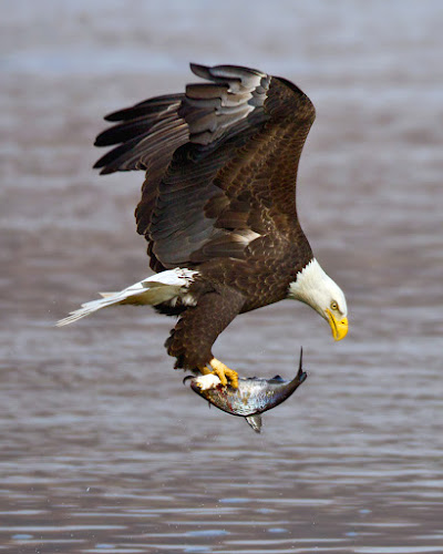 Catching Lunch by Herb Houghton - Animals Birds ( eagle, bird of prey, shad, bald eagle, herbhoughton.com, raptor, fishing )