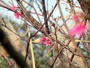 Photo: 山櫻已經小小綻開,枝頭上滿滿的花苞,真期待櫻花大開之時