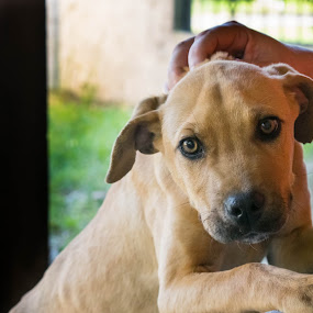 Brown eyed puppy with companion by Gwyn Goodrow - Animals - Dogs Puppies ( canine, pet, companion, ears, brown, puppy, dog, nose, friend, man, animal, eyes,  )
