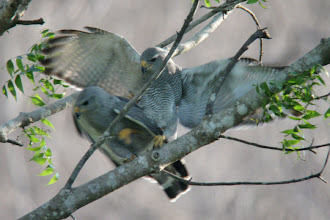 Photo: Gray Hawks