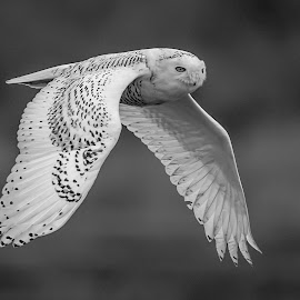 Snowy Owl by Debbie Quick - Black & White Animals ( raptor, debbie quick, owl, nature, long beach, snowy owl, connecticut, debs creative images, birds of prey, outdoors, bird, animal, black and white, wild, wildlife )