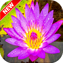 Water Lily Wallpaper icon