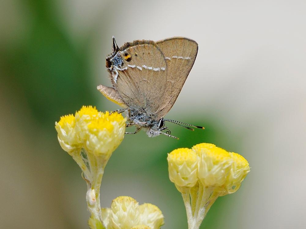 Mariposa (Blue spot hairstreak)
