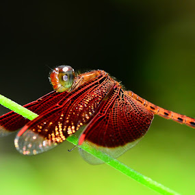 Brown Dragonfly by Azmi Jailani - Animals Insects & Spiders
