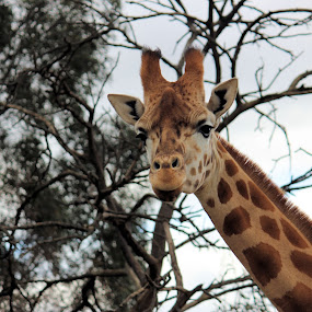 Who you looking at? by Sue Bensted - Novices Only Wildlife ( giraffee, zoo, wildlife, tall, animal,  )