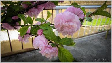 Photo: Prunus - din Piata 1 Dec.1918 - langa pod - 2017.04.15
