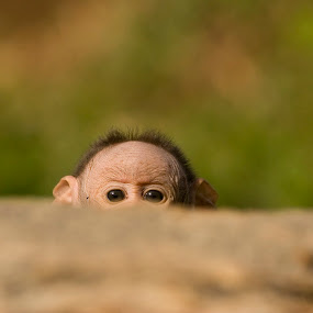 Peek-a-boo by Angad Achappa - Animals Other Mammals ( baby monkey, bonnet macaque, wildlife, baby animal, baby, primates, monkey, mammal, fear, young, animal )