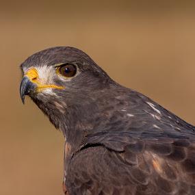 Hawk stare by Adriaan Vlok - Animals Birds ( bird, hawk stare, hawk,  )