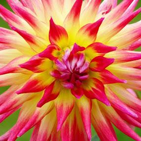 Dahlia by Lynne Miller - Flowers Single Flower ( alfred maine, green, lynne p. miller, pink, yellow, dahlia, flower )