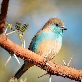 Little Blue by Hannes van Rooyen - Animals Birds