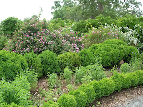 Photo: Boxwoods and Roses at Barrington Hall
