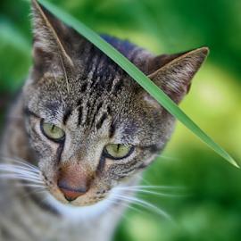 Hiding by Nancy Merolle - Animals - Cats Portraits ( hiding, feline, cat, animal, tiger, portrait )