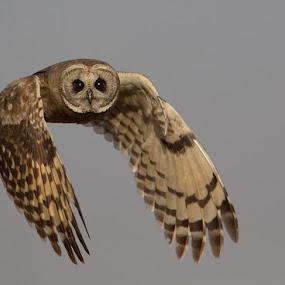 Marsh Owl at Marievale by Francois Retief - Animals Birds