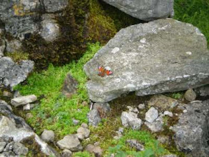 Photo: PW - From Great Shunner Fell to Tan Hill: a Peacock Butterfly