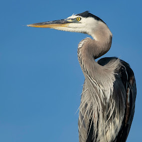 SB by Ashley Barker - Animals Birds ( blue, bird, va, heron,  )