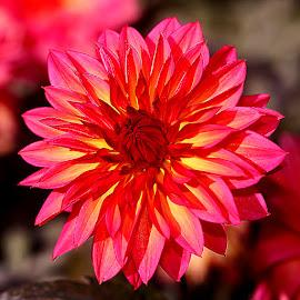 Dalhia n00037 by Gérard CHATENET - Flowers Single Flower