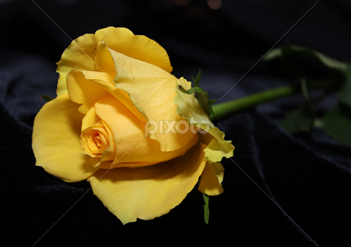 Single Yellow Rose Single Flower Flowers Pixoto
