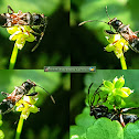 Ant-mimicking Seed Bug