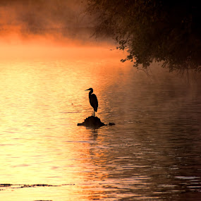 Blue Heron at Sunrise by Scott Bryan - Landscapes Waterscapes ( water, ohio, nature, lake, sunrise, mist, golden hour )