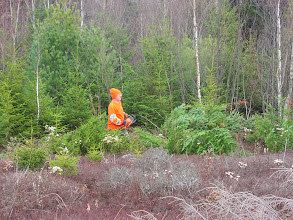 Photo: Too thin for Christmas trees, too large to transplant -- into the burn pile they go.