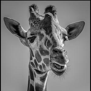 Giraffe-36.jpg