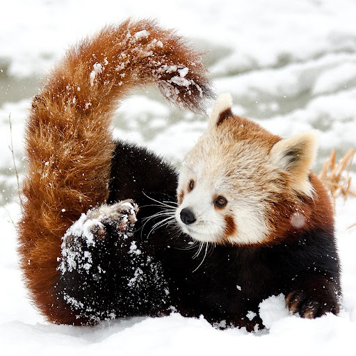Red Pandas Puzzle Rotate FREE 1.0 screenshots 2