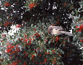 Photo: 55 Northern mockingbird in holly