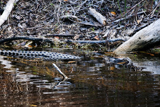 Photo: Alligator; Bailey's tract