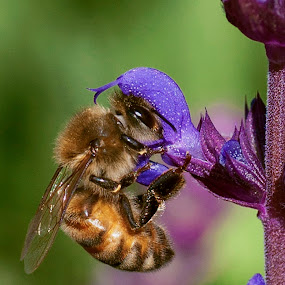 Working hard by Teri Garrison-Kinsman - Animals Insects & Spiders ( worker bee, bee, pollinator, salvia, bee and flower )