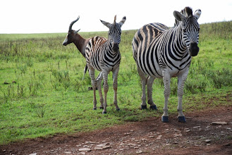Photo: Zebras in Madagaskar??? Der Film hat doch Recht!!