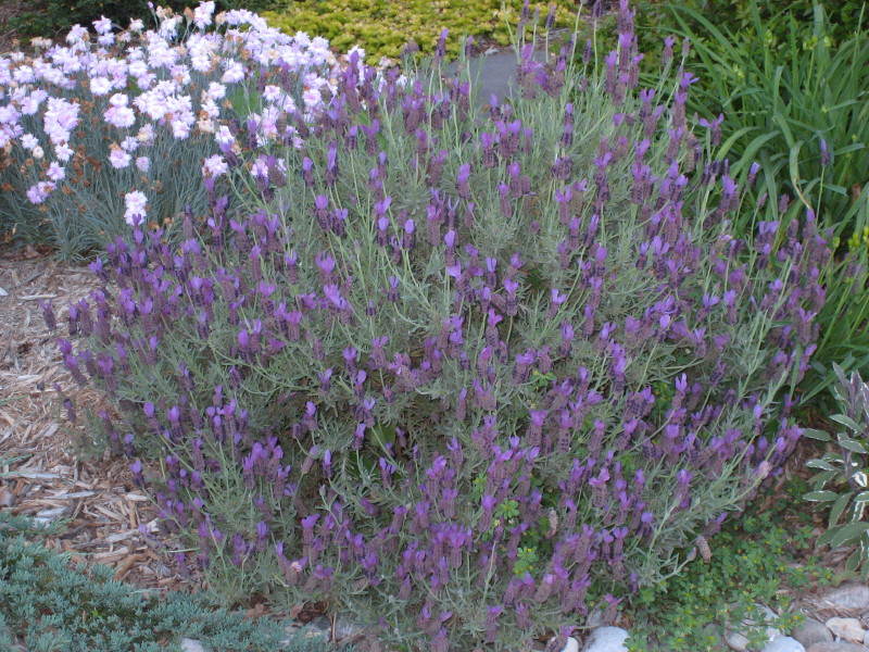 Defining your home garden and travel favorite deer drought it doesnt like overwatering so always plant this one high and dry which makes it a great drought tolerant plant perennial heliotrope mightylinksfo