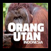 Orangutan - Indonesia