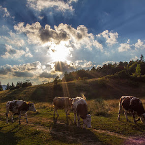 Cows at sunset by Stanislav Horacek - Landscapes Prairies, Meadows & Fields