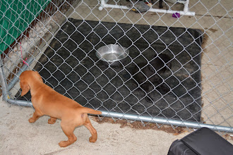 Photo: It was the Lab's dinner time, so Akela went on the outside of the pen while they ate.