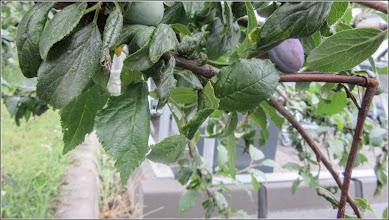 Photo: Prun (Prunus)  - de pe Calea Victoriei, Mr.3 zona Altex - 2017.07.08