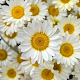 Daisies HD Wallpaper Background APK