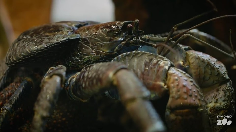 kenny the coconut crab