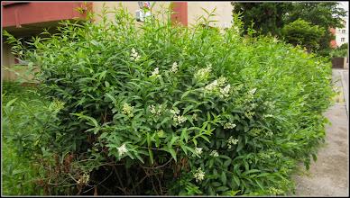 Photo: Lemn câinesc (Ligustrum vulgare) - din Turda, Calea Victoriei, Bloc B15, spatiu verde - 2019.05.31