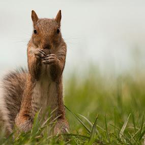 lunch time by Paschalis Angelopoulos - Animals Other Mammals ( grass, sciurus carolinensis, sciurus, rodent, squirrel, acorn,  )