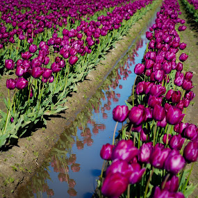 Purple RIver by Jason Weigner - Nature Up Close Gardens & Produce ( water, field, pwcflowergarden, purple, tulip, flower, , Spring, springtime, outdoors )