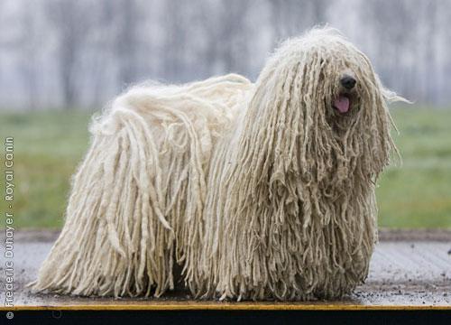 Пули - венгерская овчарка, венгерская водяная собака