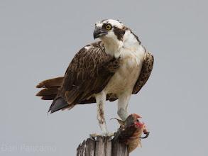 Photo: Osprey Season!!