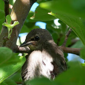 Baby Grackle by Cindy Carter - Animals Birds (  )